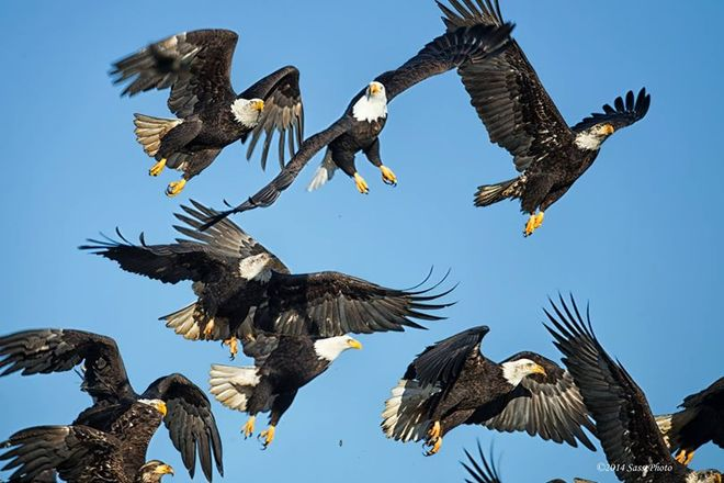 Many eagles suddenly take off Delta, British Columbia Canada