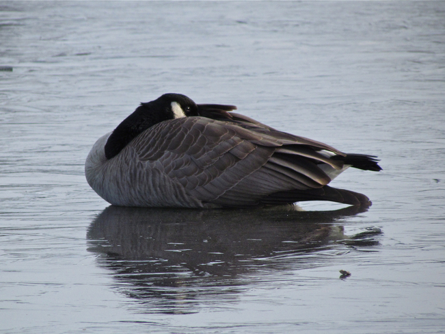 goose down! Abbotsford, British Columbia Canada