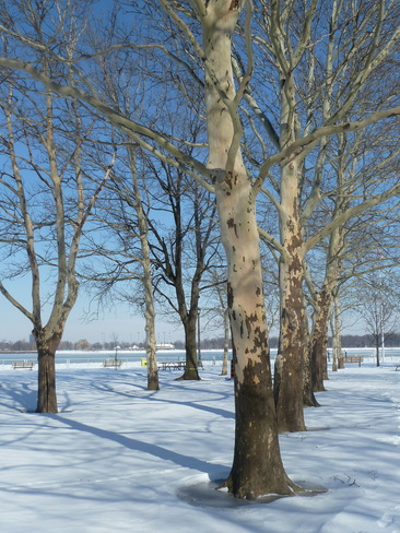 Row of Trees in Park Windsor, Ontario Canada