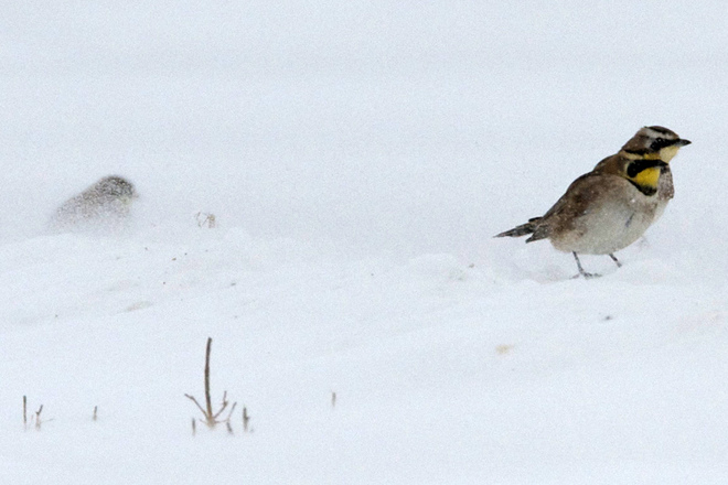 Horned Larks taking on Old Man Winter Waterloo, Ontario Canada