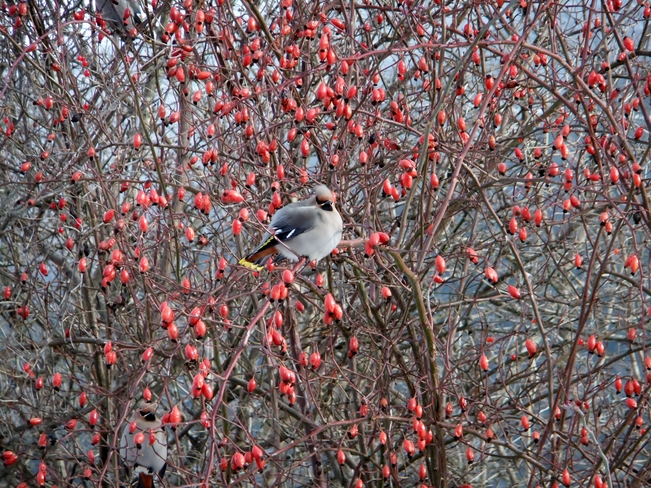 waxwing in rose hips Fauquier, British Columbia Canada