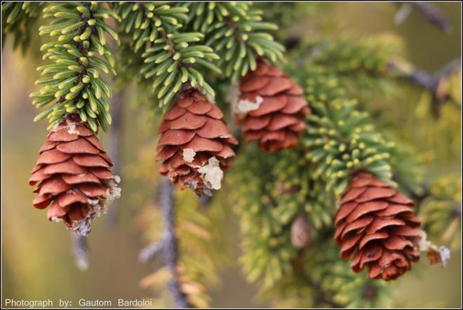 Amazing Pine Cones Edmonton, Alberta Canada