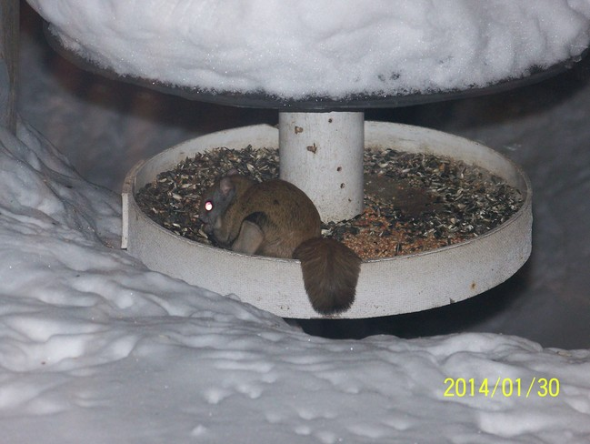 Flying Squirrel in birdfeeder Kirkfield, Ontario Canada