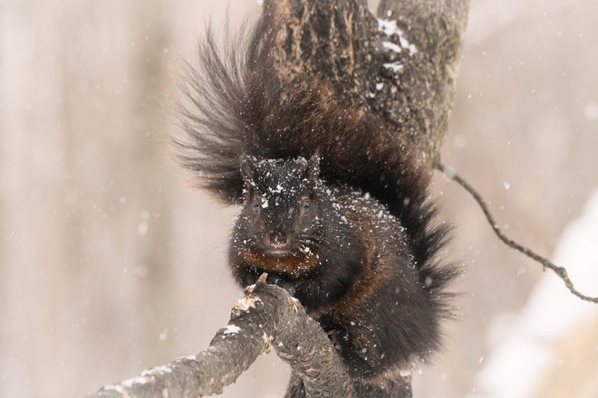 Black Squirrel sprinkled with snow! Kingston, Ontario Canada