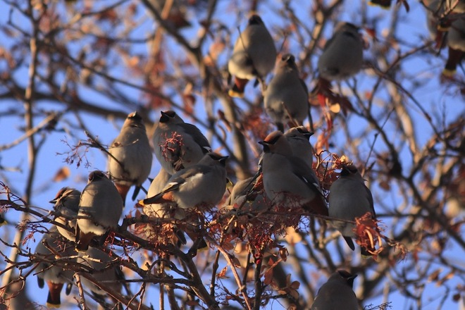 Waxwings in Freezing Weather