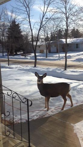 Deer Camrose, Alberta Canada