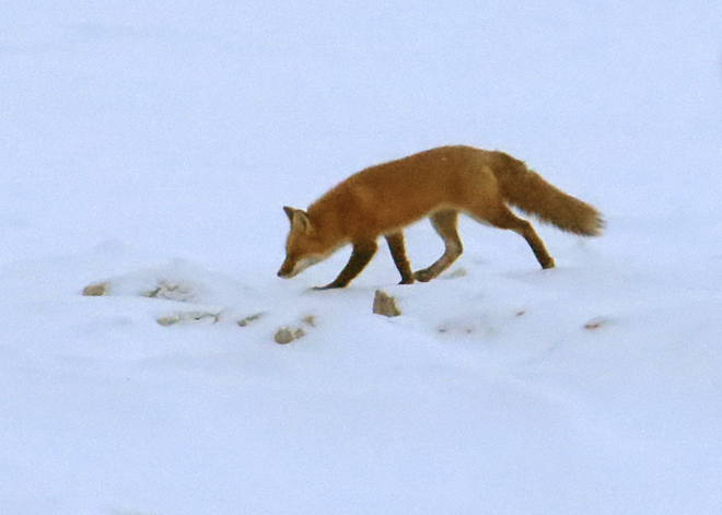 Mr. Fox - out hunting after sunset on a frozen Lake Huron Goderich, Ontario Canada