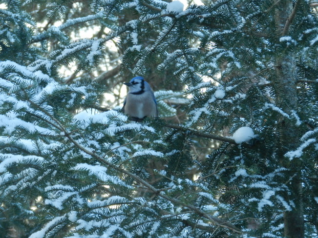 Blue Jay in the Wings Bummers' Roost, Ontario Canada