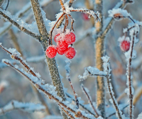"""Red Berry Frost"" Owen Sound, Ontario Canada"