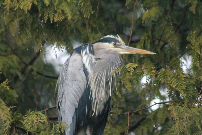 blue heron in tree Vancouver, British Columbia Canada