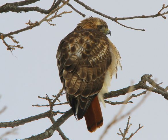 Red Tail Hawk.