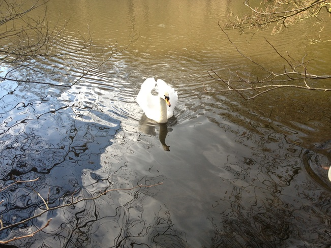swan calm Hyde, Tameside, North West England United Kingdom