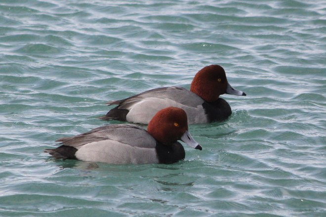 A pair of Redheads! Whitby, Ontario Canada