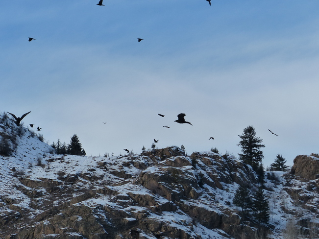 Crows Grand Forks, British Columbia Canada