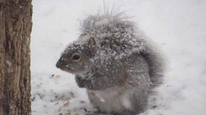 Snow Squirrel Puslinch, Ontario Canada