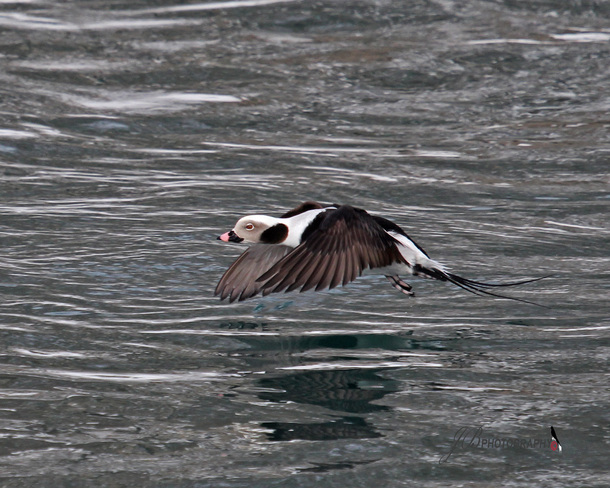 Male Long-tailed Duck Port Colborne, Ontario Canada