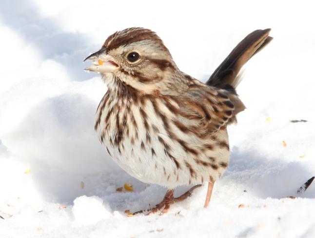 Song Sparrow Fergus, Ontario Canada