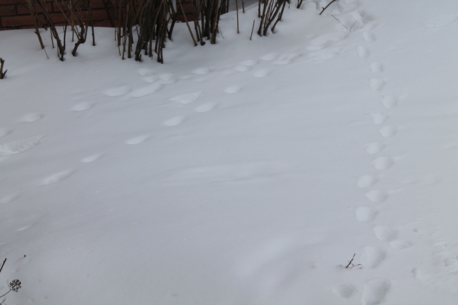 Animal Prints in the snow Brantford, Ontario Canada
