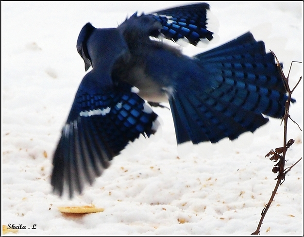 Swooping In Canning, Nova Scotia Canada
