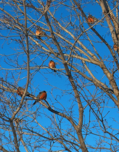 Robins in February Mississauga, Ontario Canada