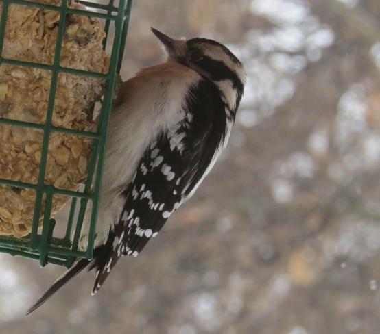 woodpecker in the snow Winnipeg, Manitoba Canada