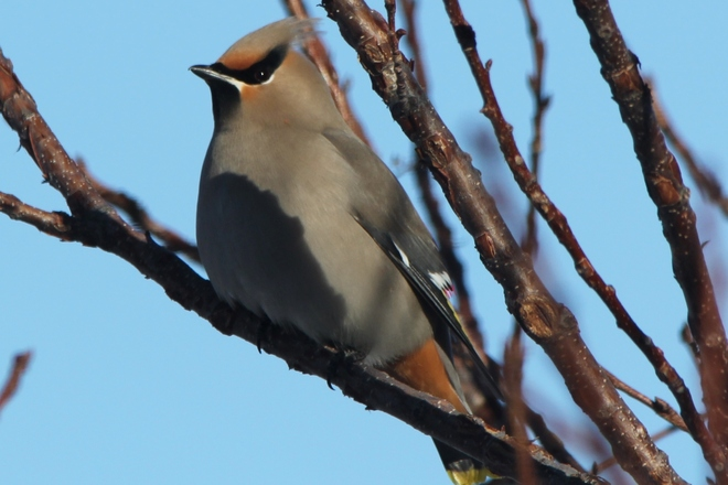 Waxwing on Winter Day Coaldale, Alberta Canada