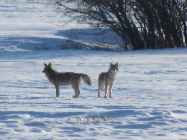 Coyotes on the prowl Hay Lakes, Alberta Canada