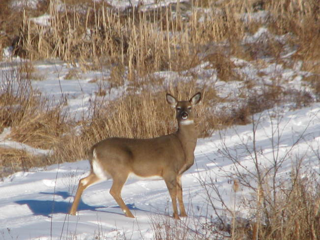 Deer on the winter path St. George, New Brunswick Canada