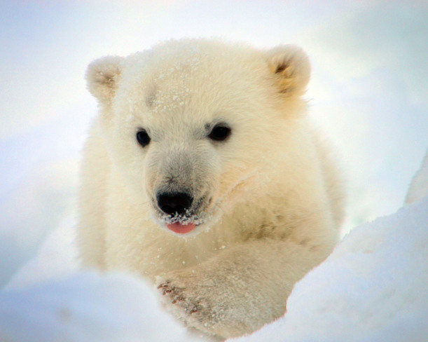 Polar Bear Cub Scarborough, Ontario Canada