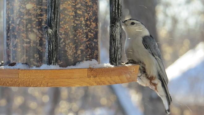 Nuthatch having lunch St. Andrews, Manitoba Canada