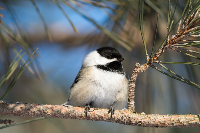 Sunbathing Chickadee Kingston, Ontario Canada