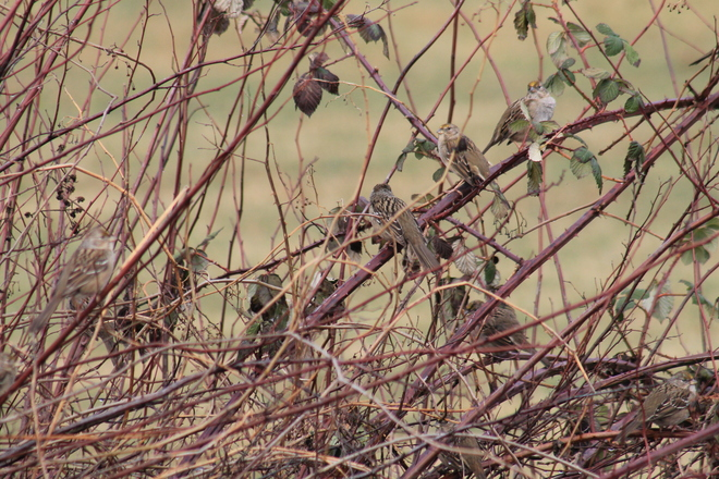 7 Golden Crowned Sparrows Abbotsford, British Columbia Canada