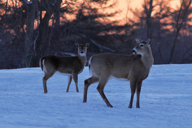 Deer at Sunset Kingston, Ontario Canada