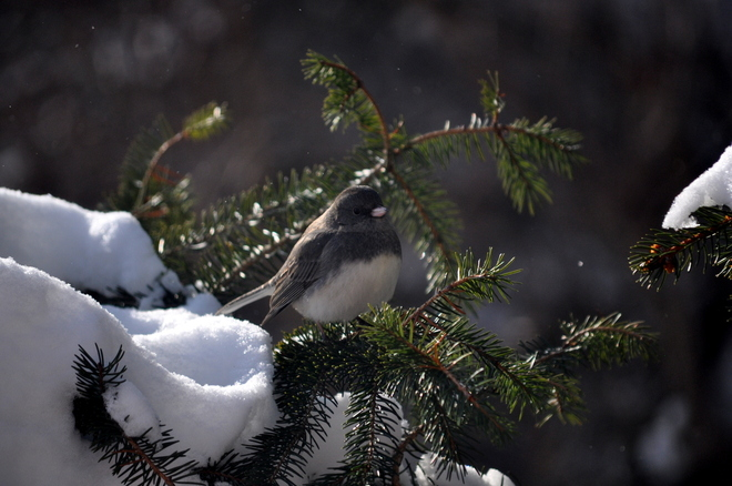 Junco in a tree Rosemont, Ontario Canada