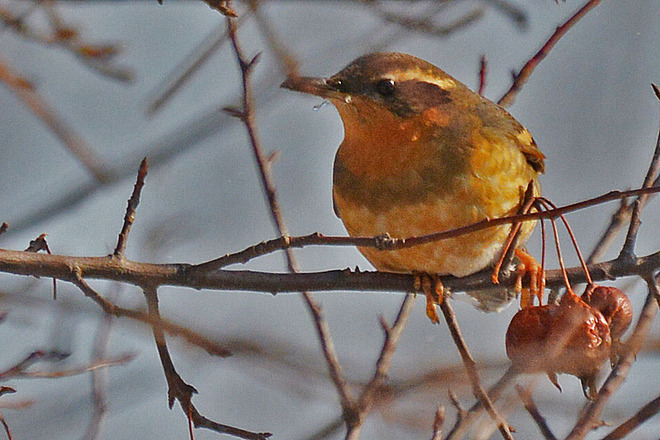 Varied Thrush Kitchener, Ontario Canada