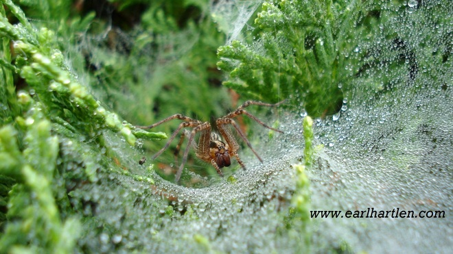 Wolf Spider And Web Port Dover, Ontario Canada