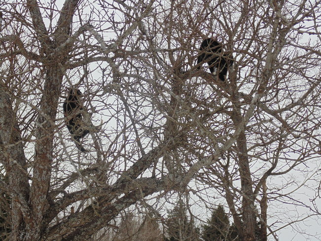 cats in a tree Rothesay, New Brunswick Canada