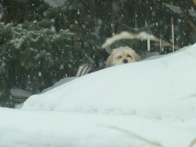 Toby peaking over Snowdrifts Windsor, Ontario Canada