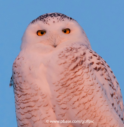 Snowy Owl at Sunset Ottawa, Ontario Canada