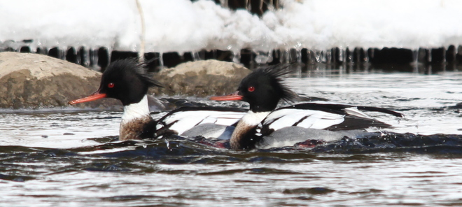Red-breasted Mergansers Fergus, Ontario Canada