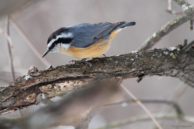 Red Breasted Nuthatch Kingston, Ontario Canada