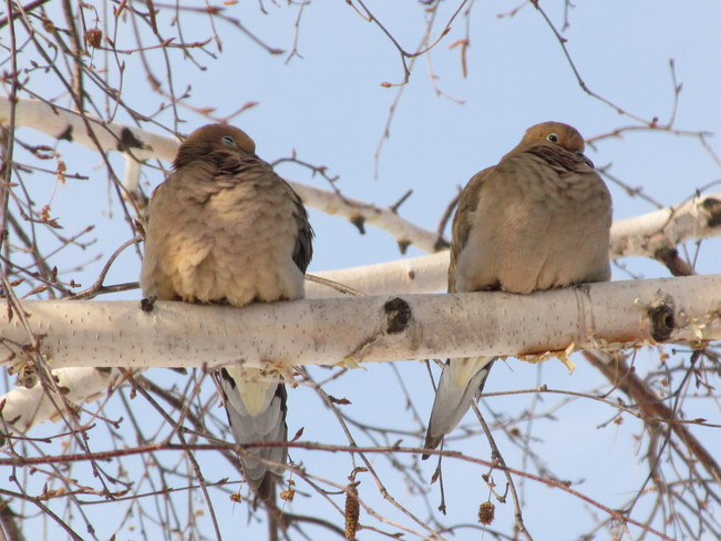 Mourning DOves Port McNicoll, Ontario Canada