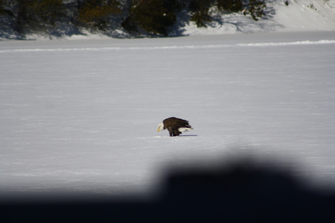 Eagle resting on ice Westport, Ontario Canada
