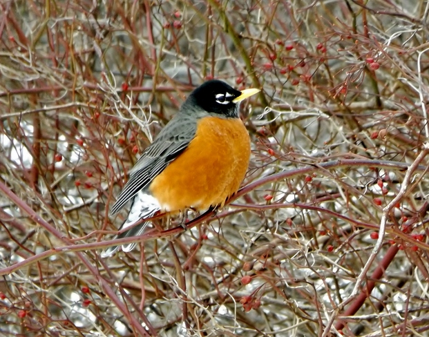 Robins are back! Kentville, Nova Scotia Canada