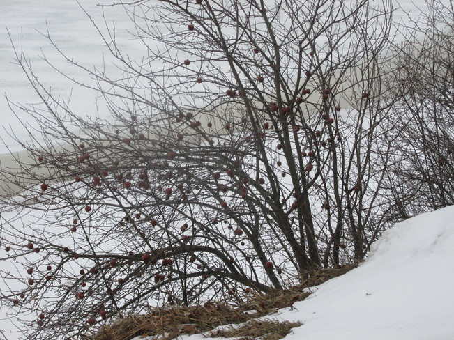Apples on tree waiting for the Waxwings to Come Moncton, New Brunswick Canada