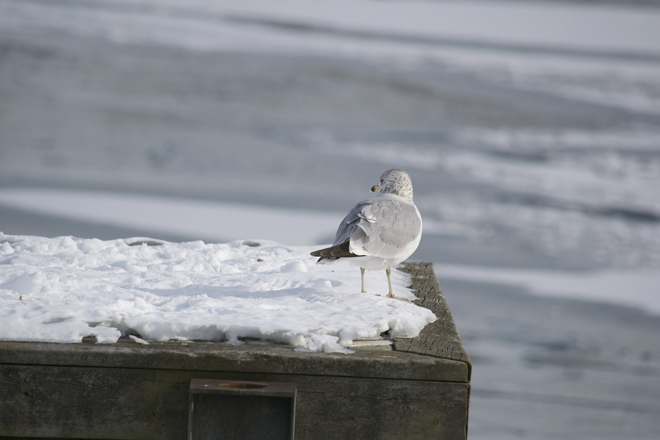seagull on ice Port Credit, Ontario Canada