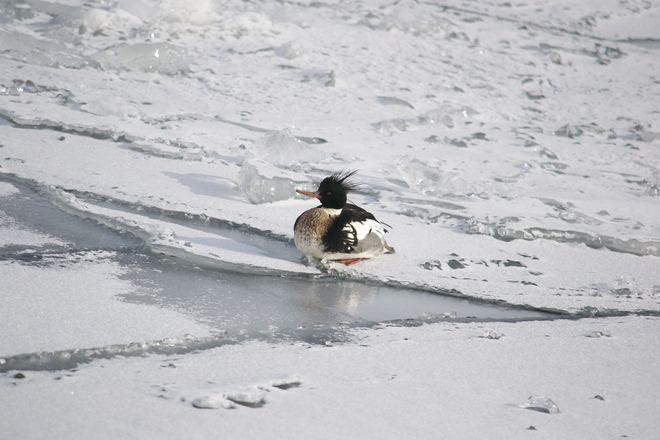 Merganser on ice