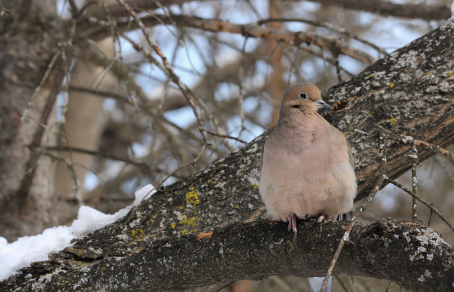 Mourning Dove in Tree