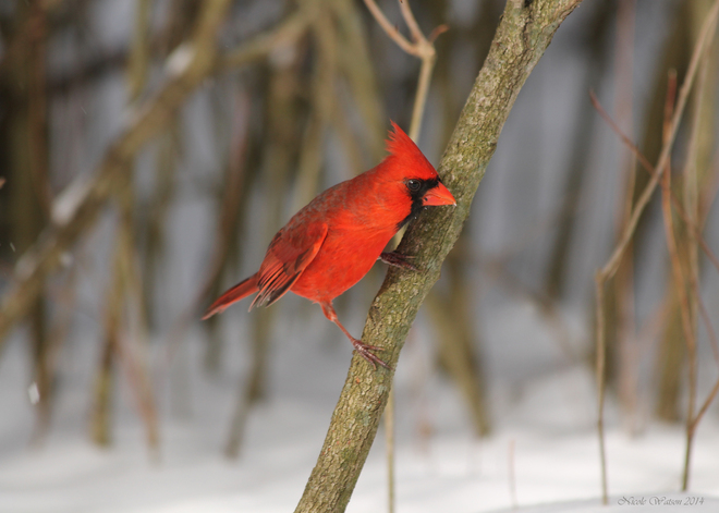 Cardinal Kingston, Ontario Canada
