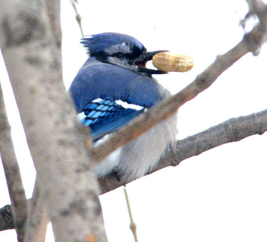 Nutty BJ Laval, Quebec Canada